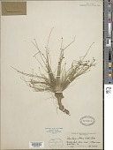 view Eleocharis obtusa (Willd.) Schult. digital asset number 1