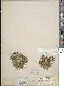 view Cyperus polystachyos var. texensis (Torr.) Fernald digital asset number 1