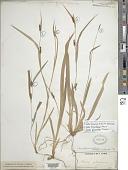 view Carex laxiculmis var. copulata (L.H. Bailey) Fernald digital asset number 1