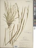 view Carex striatula Michx. digital asset number 1