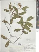 view Centrosema coriaceum Benth. digital asset number 1