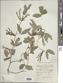 view Teramnus uncinatus (L.) Sw. digital asset number 1