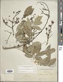 view Andira inermis (W. Wright) Kunth ex DC. subsp. inermis digital asset number 1
