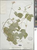 view Amphicarpaea bracteata (L.) Fernald digital asset number 1