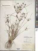 view Cyperus grayi Torr. digital asset number 1