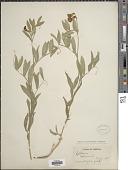 view Lathyrus eucosmus Butters & H. St. John digital asset number 1