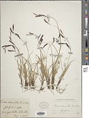view Carex stenantha Franch. & Sav. digital asset number 1