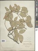 view Derris trifoliata Lour. digital asset number 1