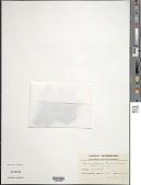 view Phaleria lanceolata (A. Gray) Gilg digital asset number 1