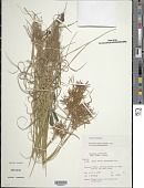 view Cyperus esculentus L. digital asset number 1