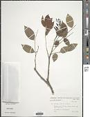 view Lonchocarpus sp. digital asset number 1