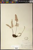 view Pleopeltis polypodioides (L.) E.G. Andrews & Windham digital asset number 1
