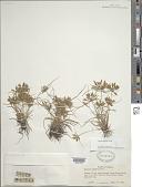 view Cyperus filicinus Vahl digital asset number 1