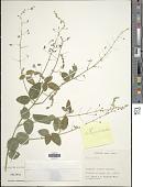 view Desmodium campyloclados Hemsl. digital asset number 1