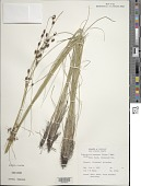 view Fimbristylis castanea (Michx.) Vahl digital asset number 1