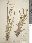view Carex granularis Muhl. ex Willd. digital asset number 1