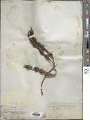 view Erythrina herbacea digital asset number 1