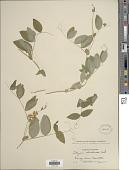 view Lathyrus ochroleucus Hook. digital asset number 1