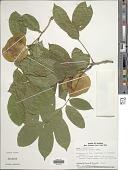 view Pterocarpus floribundus Pittier digital asset number 1