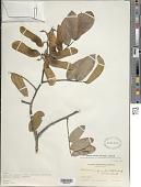 view Machaerium quinatum (Aubl.) Sandwith digital asset number 1