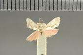 view Illice leuconotum Dyar, 1914 digital asset number 1