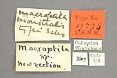 view Macroptila monstralis Schaus, 1911 digital asset number 1
