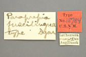view Paraprepia fuscilingua Dyar, 1914 digital asset number 1