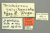 view Trichareva fulvilaniata Dognin, 1914 digital asset number 1