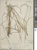 view Carex grisea Wahlenb. digital asset number 1