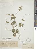 view Amphicarpaea edgeworthii Benth. digital asset number 1