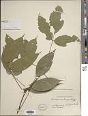 view Centrosema dasyanthum Benth. digital asset number 1