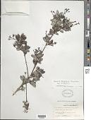 view Rondeletia pachyphylla Krug & Urb. digital asset number 1