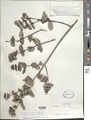 view Rondeletia odorata subsp. bullata Fernández & P. Herrera digital asset number 1