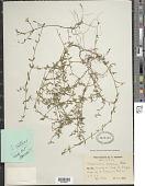 view Oldenlandia selleana Urb. digital asset number 1