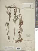 view Eriosema psoraloides (Lam.) G. Don digital asset number 1
