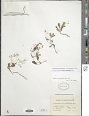 view Leptopetalum strigulosum (Bartl. ex DC.) Neupane & N. Wikstr. digital asset number 1