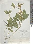 view Calopogonium mucunoides Desv. digital asset number 1
