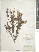 view Rondeletia pachyphylla subsp. myrtilloides Fernández & Borhidi digital asset number 1