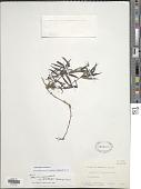 view Oldenlandia verticillata L. digital asset number 1