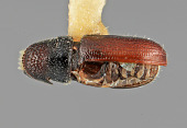 view Pityophthorus vespertinus Bright, 1978 digital asset number 1
