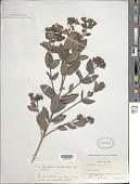 view Rondeletia odorata Jacq. subsp. odorata digital asset number 1