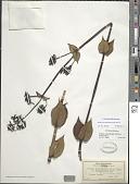 view Kadua centranthoides Hook. & Arn. digital asset number 1