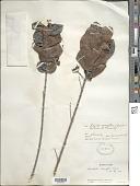 view Roigella correifolia (Griseb.) Borhidi & Fernández digital asset number 1