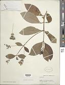 view Rondeletia americana L. digital asset number 1