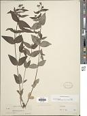 view Houstonia purpurea var. purpurea digital asset number 1