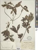 view Stevensia samanensis Urb. digital asset number 1