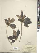 view Rondeletia stipularis (L.) Druce digital asset number 1