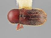 view Cnesinus parvicornis Wood, 1983 digital asset number 1