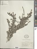 view Rhachicallis americana (Jacq.) Hitchc. digital asset number 1