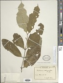 view Vangueriella chlorantha (K. Schum.) Verdc. digital asset number 1